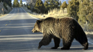 A grizzly bear walks across a road near Mammoth, Wyo., in Yellowstone Park. An elder in Carcross, Yukon, is upset that a blonde grizzly, which was a familiar face along the roadside near the community, was recently shot. (AP Photo)
