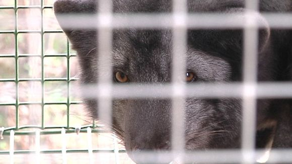 A caged fox. (Kalle Niskala / Yle)