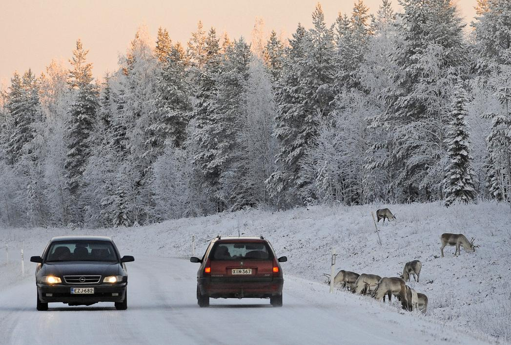 Reindeers graze close to a snowy road in North Finland. (Olivier Morin / AFP)