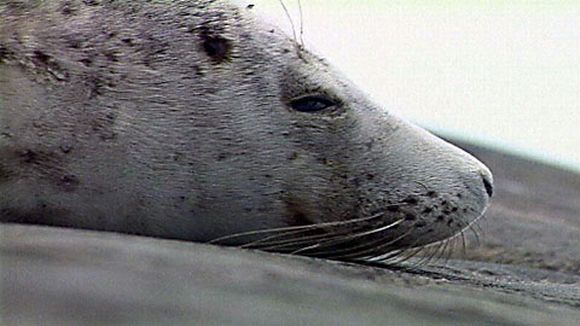 A grey seal. Hunters will be allowed to take over 1000 this season. (YLE)
