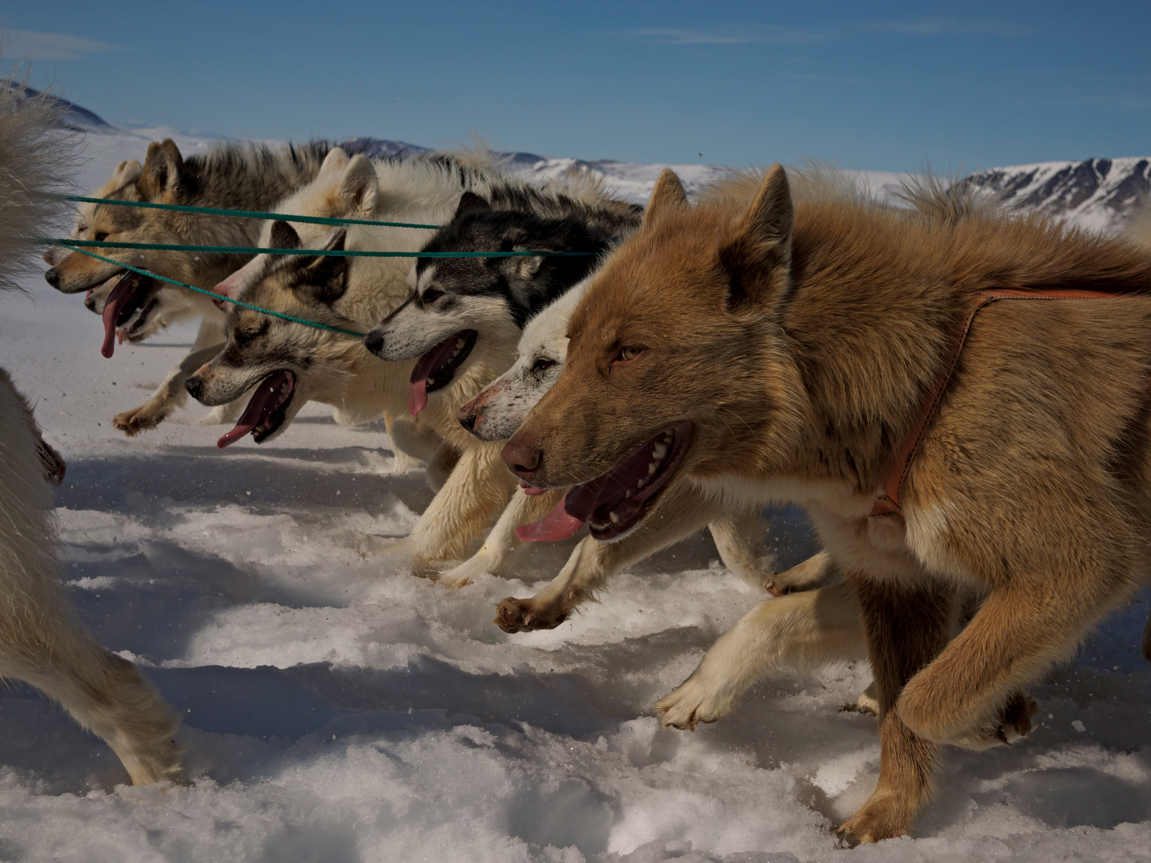 A still shot from the film Vanishing Point. Sled dogs are still used for hunting and travelling in northwestern Greenland.  (Julia Szucs / NFB)