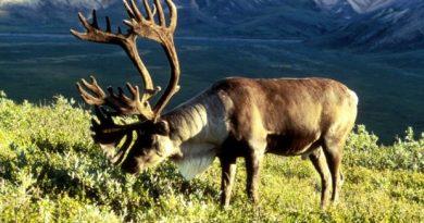 (Photo courtesy U.S. Fish and Wildlife Service / Alaska Dispatch)