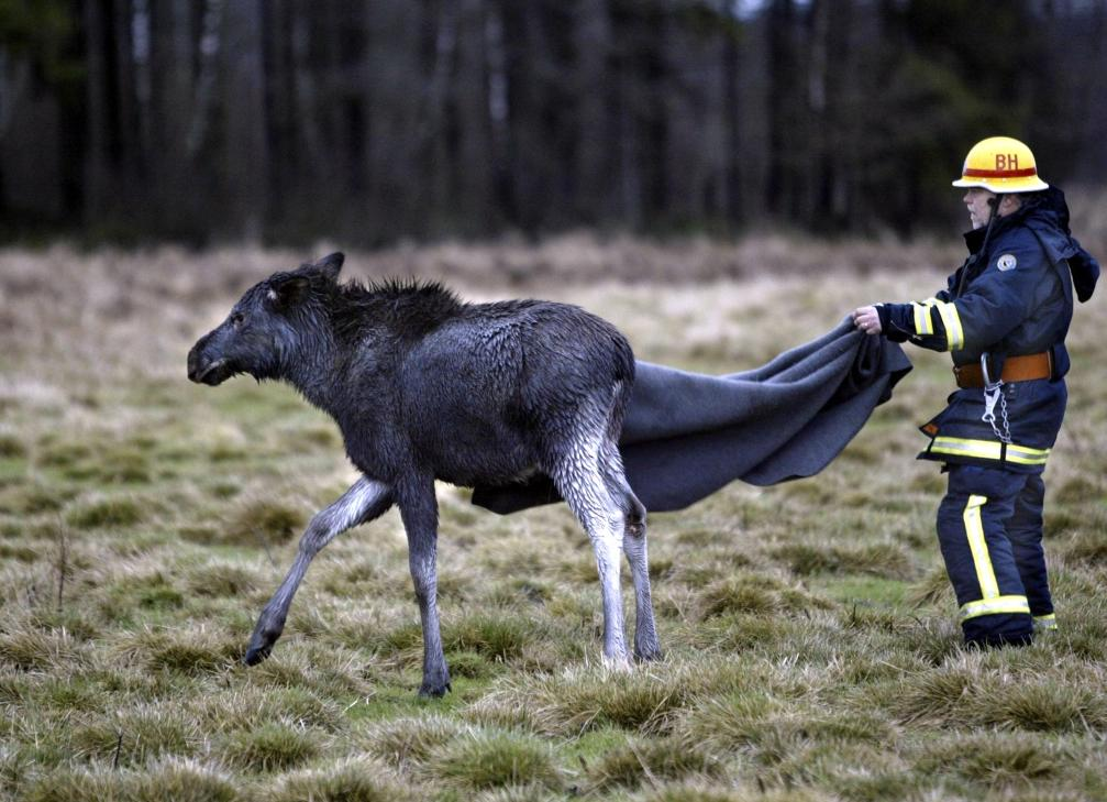 A fireman sets an elk calf free after saving it from a river bed where it was trapped. (Johan Presson / Scanpix / AFP)