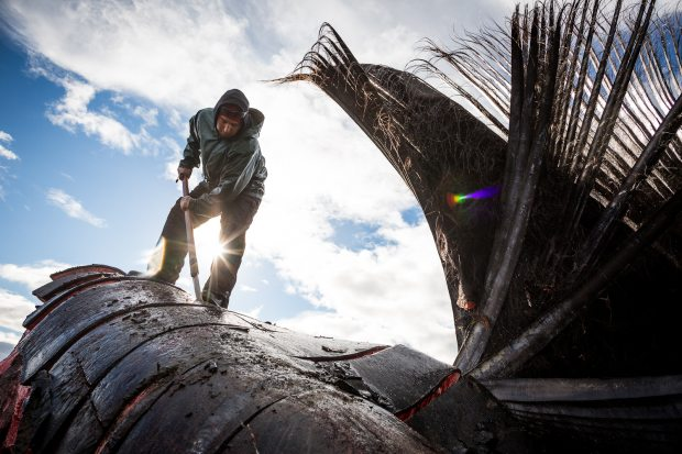 Eddie Rexford butchering a bowhead whale head on the beach in Kaktovik. September 6, 2012. (Loren Holmes / Alaska Dispatch)