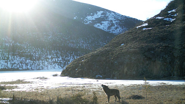 Un loup du Yukon hurle (Parcs Canada)