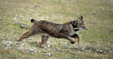 Lynx are one of the animals covered in the new legislation. (Christina Quicler / AFP)