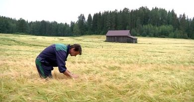 Success or sting of failure? Much is riding upon the fields of barley... (Niko Rönkkö / Yle)