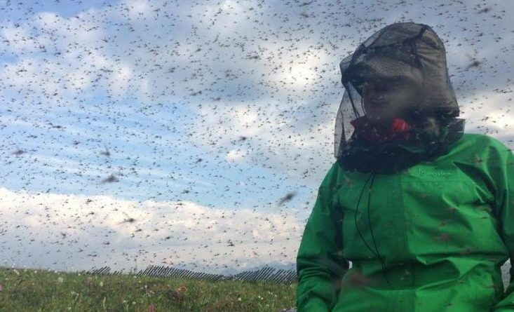 Researcher Shannan Sweet engulfed in mosquito swarms at Toolik Field Station, north of the Brooks Range. (Courtesy Jesse Krause / Alaska Dispatch)