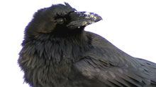 A notice which went up in the community said ravens have been an integral part of Gwich'in culture for thousands of years. Any person found responsible for intentionally injuring the ravens will be charged under the Wildlife Act. (CBC)
