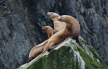 Steller sea lions are listed as threatened under the Endangered Species Act. (Alaska Department of Fish and Game / Alaska Dispatch)