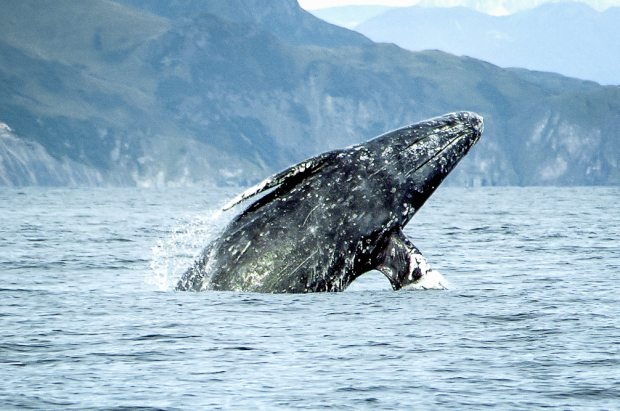 Gray Whale breaching. Gray Whales are distinguished from Humpbacks by their lack of a dorsal fin, among other characteristics. Merrill Gosho / NOAA photo