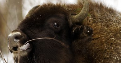 Anthrax probably killed more bison than surveyors counted, but their carcasses may be in wooded areas and weren't found by crews. (Vasily Fedosenko/Reuters)