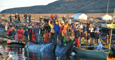 Hunters from Pangnirtung, Nunavut, succeeded in catching a bowhead whale Tuesday afternoon near the historic whaling station at Kekerten Island in Cumberland Sound. (Photo courtesy of Timiusie Dialla / CBC.ca)
