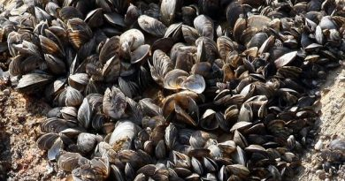 The Swedish Agency for Marine and Water Management says zebra mussel grow at a fast rate and in dense clusters with up to 10,000 mussels per square meter. (Kilian Fichou / AFP)
