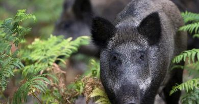 Police officers rescued two young men attacked by wild boars. (Joel Saget/AFP)