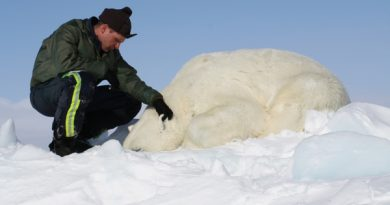 Dr. Eric Regehr monitors a polar bear during Chukchi Sea research in 2013. This is one of 68 bears that the U.S. Fish and Wildlife Service sedated, studied, and released as part of the ongoing project. (Photo courtesy of the U.S. Fish and Wildlife Service.)