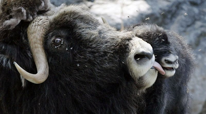 Last year the Erysipelas bacteria killed more than 100 muskox on Banks Island in the Arctic Ocean. (Peter Klaunzer/Associated Press)