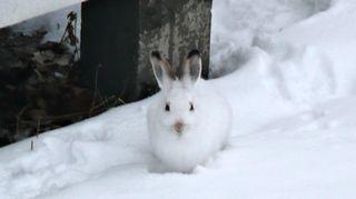 Mountain hare. ( YLE / Vihtori Koskinen)
