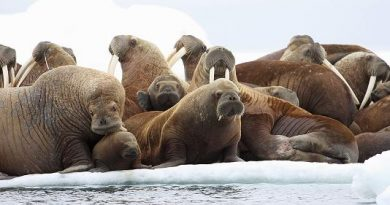 Adult female walruses on an ice floe with their young in the U.S. waters of the Eastern Chukchi Sea in Alaska in 2012.S.A. Sonsthagen / U.S. Geological Survey / AP)