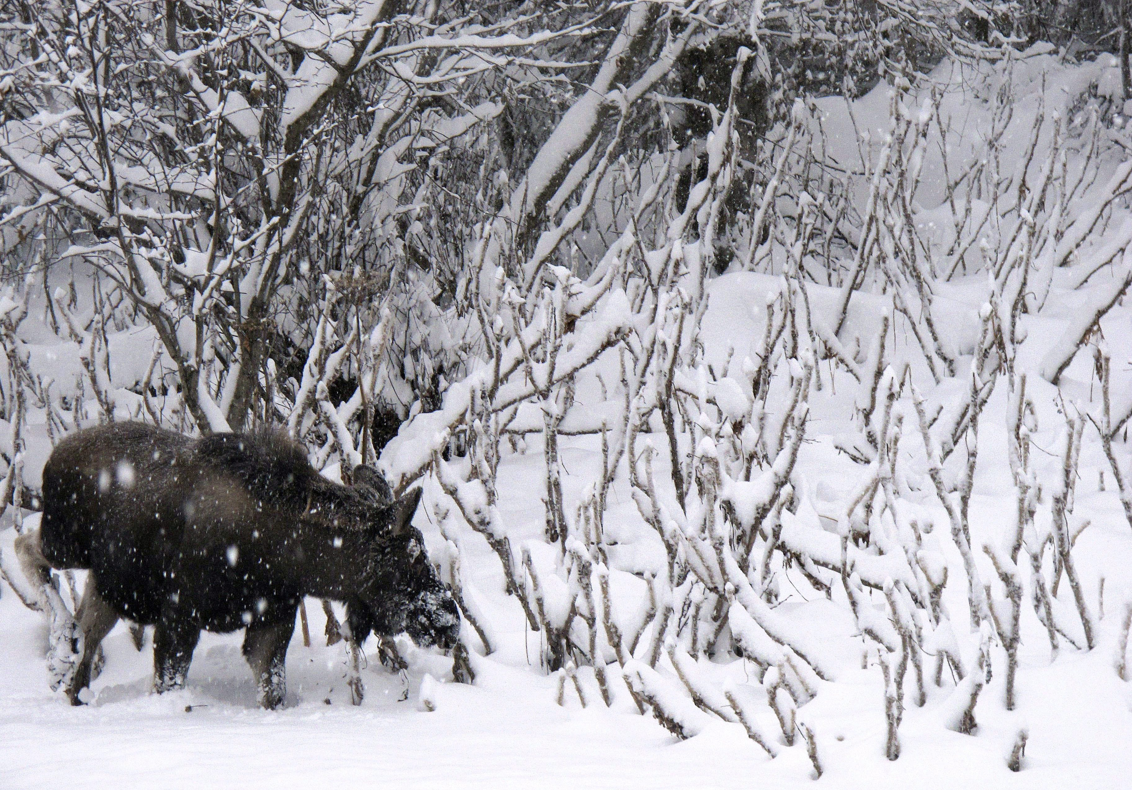 A moose grazes along the roadway leading into Kincaid Park in Anchorage, Alaska, on Wednesday, Dec. 12, 2012. (Mark Thiessen / AP)