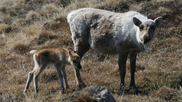 The mortality rate for caribou calves is much higher if most of the plants have already emerged and there are few tender young shoots left for them to eat by the time the caribou arrive at their breeding grounds. (Eric Post, Penn State University)