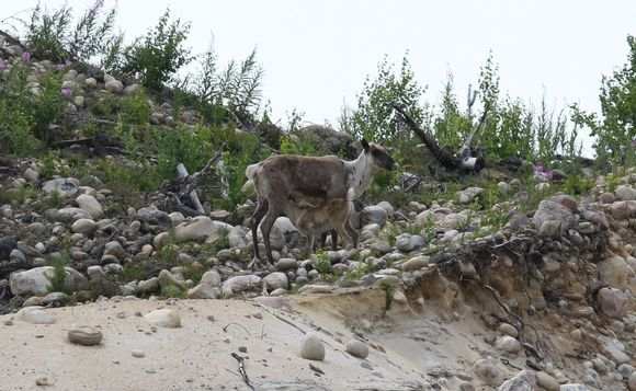 A rare glimpse of a Finnish forest reindeer doe with a nursing fawn last summer in Lieksa. (Asko Kettunen / Yle)