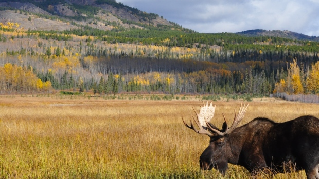 Scientists suspect infestations of winter ticks may contribute to declining moose populations in the United States. (Philippe Morin/CBC)