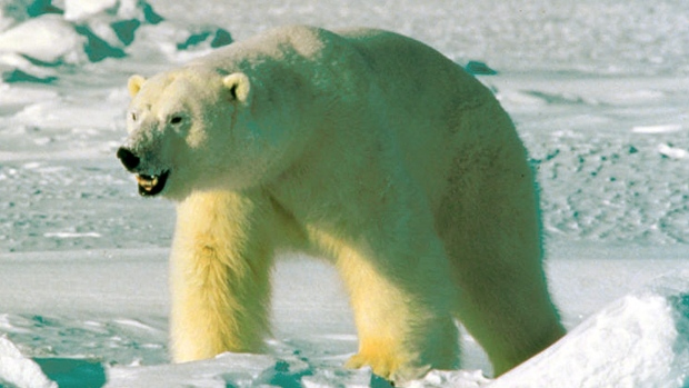 DNA analysis conducted by Oxford University genetics professor Bryan Sykes suggests the creature is the descendant of an ancient polar bear. Sykes compared DNA from hair samples taken from two Himalayan animals — identified by local people as yetis — to a database of animal genomes. He found they shared a genetic fingerprint with an ancient polar bear jawbone found in the Norwegian Arctic. (U.S. Fish and Wildlife Service/Associated Press)