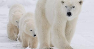 A polar bear mother and her two cubs walk along the shore of Hudson Bay near Churchill, Man. Students at Qarmartalik School in Resolute were told to stay home Monday due to the number of polar bears around the community. (The Canadian Press)