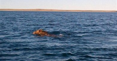 In August a grizzly was spotted in the sea swimming toward the community of Cambridge Bay. Because of the threat, hunters directed it away from the community and shot it, later distributing the meat among community members. Grizzlies, once a rare sight, are now much more common. (Mallory Ehaloak)