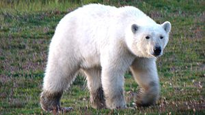 Polar bears are common in the Lowlands, especially around Churchill Manitoba but changes to the environment could harm them (Jon Sweetman)
