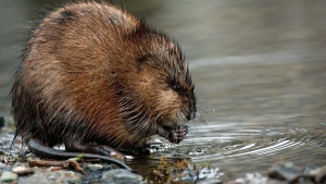 Muskrat fur from Canada's Northwest Territories is very popular in China. (CBC.ca)