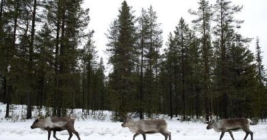 Reindeers on a highway in 2012 in Sweden's Far North. (Jonathan Nackstrand / AFP)