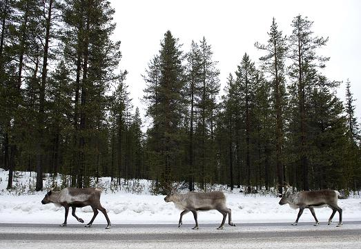 Reindeers on a highway in 2012 in Sweden's Far North. This week, black ice is causing diving headaches across the region. (Jonathan Nackstrand / AFP)