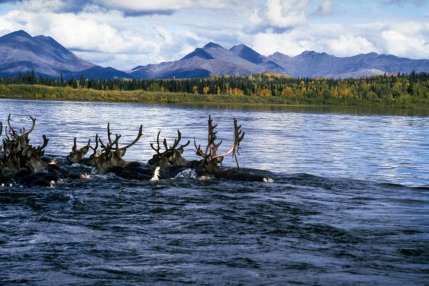 Caribou from the Arctic Caribou Herd, the largest in North America, negotiate the Kobuk River during their fall migration to their winter grounds. In recent years, the herd has moved later and later in autumn. NPS