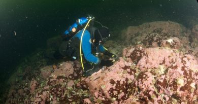 To collect coralline algae, divers had to chisel it from the bottom of places such as the Labrador Sea in near-freezing water temperatures. (Nick Caloyianus/University of Toronto Mississauga)