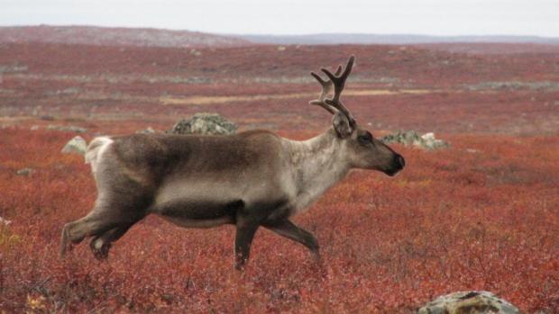 hi-caribou-tundra