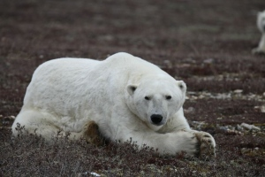 About 900 polar bears gather at Cape Churchill in Manitoba every fall waiting for Hudson Bay to freeze over so they can begin their seal hunting season on the ice. (explore.org)