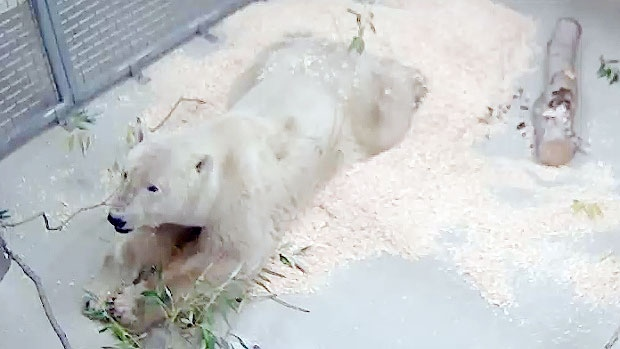 A three-year-old polar bear named Storm who attacked a man in Churchill in September now lives at Winnipeg's Assiniboine Park Zoo. (Assiniboine Park Conservancy)