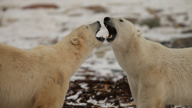 Polar Bears International is monitoring the bears' size, stature and reproduction with the help of both citizen scientists and professional researchers. (explore.org)