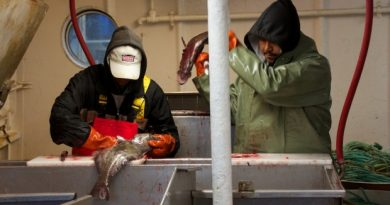 Deck hands process some turbot caught on the Arctic Fishery Alliance's Atlantic Prospect. (Vincent Desrosiers)