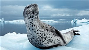 Nicklen, who shot this photo of a leopard seal, has spent months living and working on ice and diving around both polar regions while on assignments for National Geographic (Paul Nicklen)