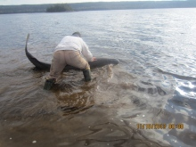 Jeremy Ball of Norris Arm North, N.L., moves the beached shark into deeper water. (Courtesy Derrick Chaulk / CBC.ca)