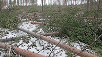 Storm Hilde's high winds took out some 3.5 million cubic meters of trees. (Örjan Holmberg / SverigesRadio)