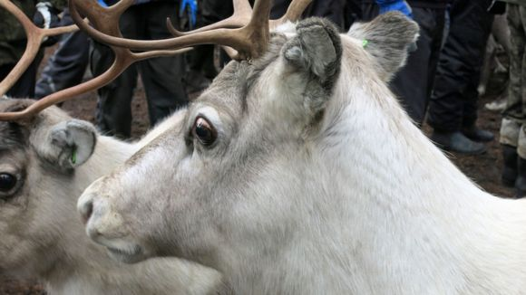 The volume of reindeer meat produced in Finland is declining. (Pia Tuukkanen / Yle)