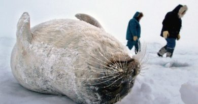 Inuit hunters walk by a ring seal they caught through the ice on Frobisher Bay near Iqaluit, Nunavut. Seal hunters in Nunavut are now selling fewer than half the number of skins than before the European Union seal ban. (The Canadian Press)