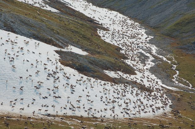 Aerial image of the Western Arctic Caribou herd, 2011. (Jim Dau / Alaska Department of Fish and Game / Alaska Dispatch)