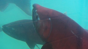 The 2012 Yukon River Chinook salmon run is the worst ever. (CBC)