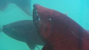 The 2012 Yukon River Chinook salmon run is the worst ever. (CBC)