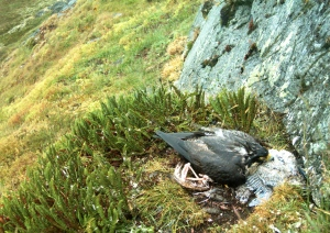 A peregrine falcon tries to brood two nestlings who succumbed to exposure. (University of Alberta)